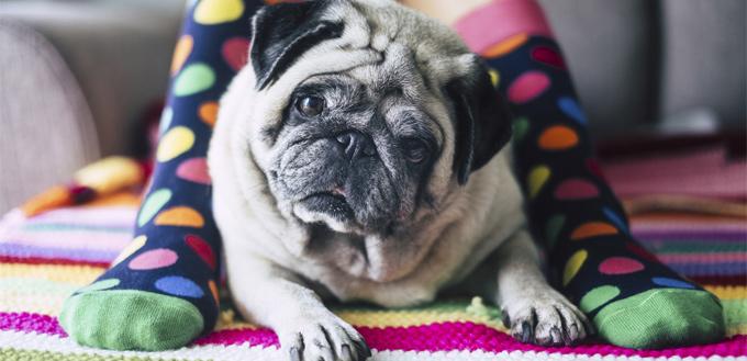 wrinkled pug