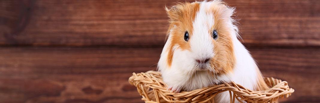Guinea-Pig-Care