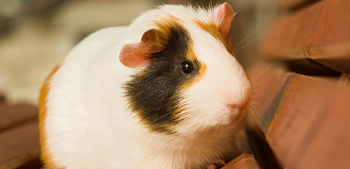 Guinea-Pig-Sitting-on-a-Bench