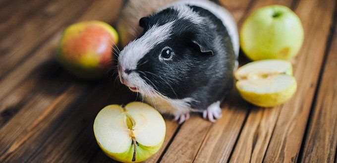 Guinea pig next to the apples