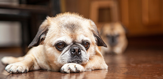 Pug crossbreed dog laying down