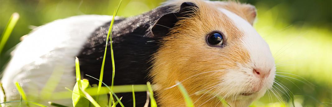 average lifespan of a guinea pig