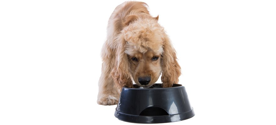 cocker spaniel eating from a bowl
