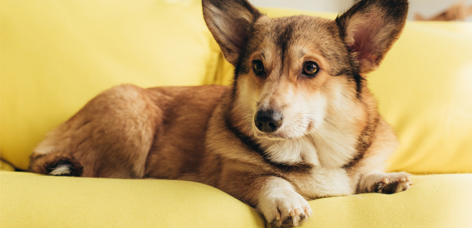 corgi sitting on a couch