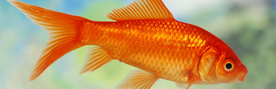 How to take care of a goldfish – a beginner's guide | how to take.