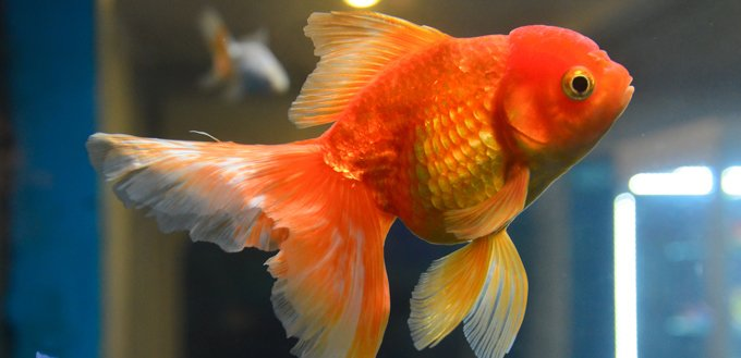 pet gold fish