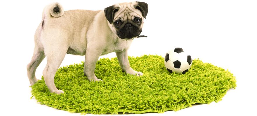 pug on the rug playing with the ball