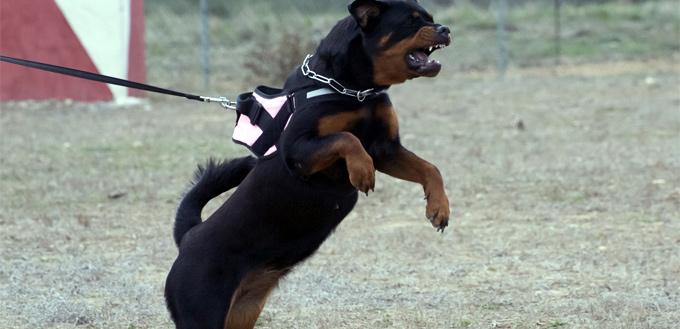 rottweiler grinding its teeth