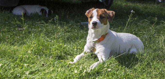 small jack russell in the grass