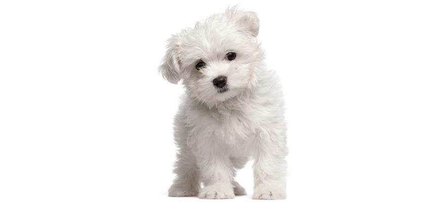 small maltese dog