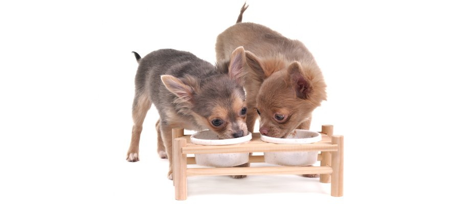 two chihuahuas eating
