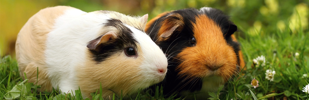 two-guinea-pigs