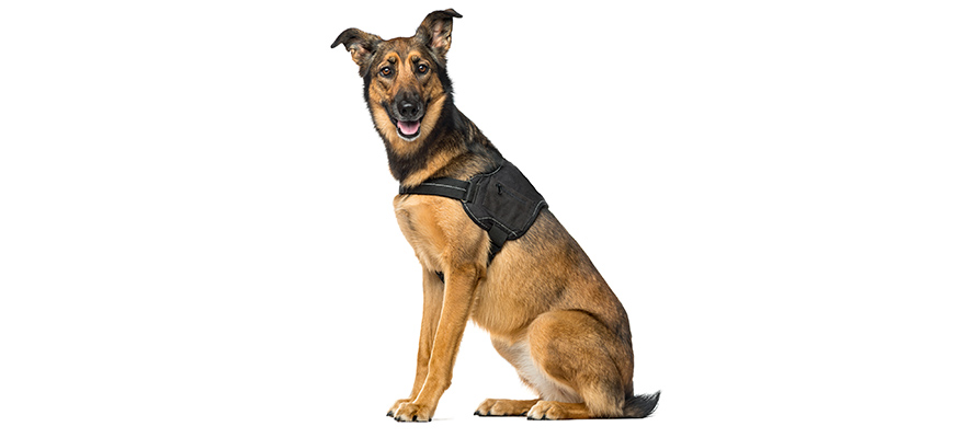 Belgian Shepherd Malinois with vest sitting