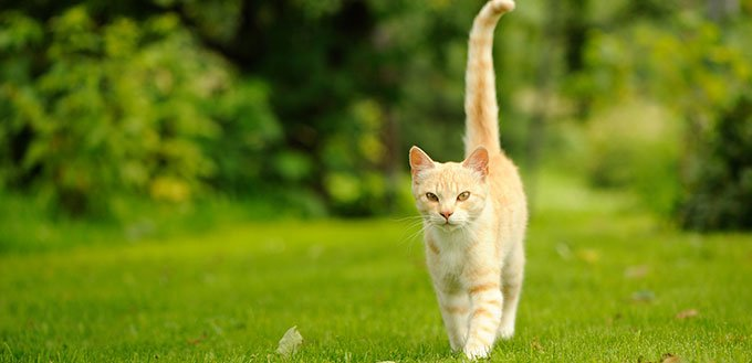 Cat Walking on Green Grass
