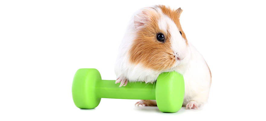 Guinea pig with green dumbbell