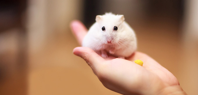 Hamster on the owner hand