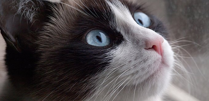 Potrait of cat breed snowshoe