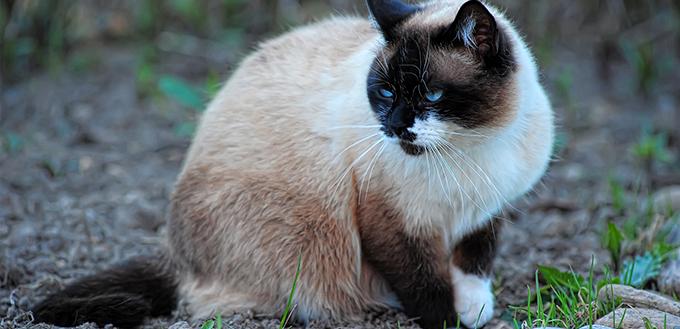 Snowshoe cat on green grass