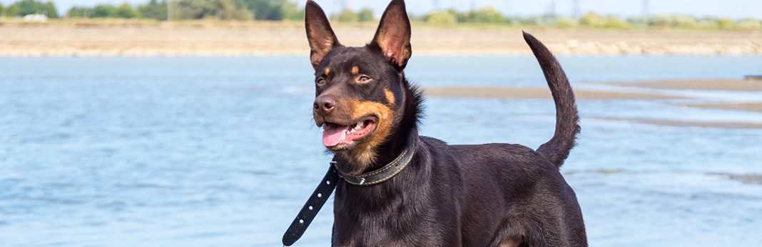 australian kelpie breed facts and temperament