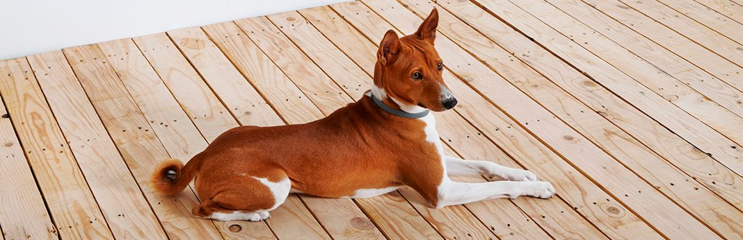 basenji breed facts temperament
