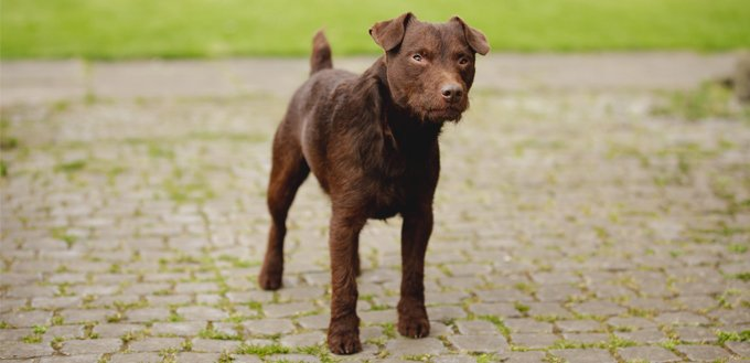 brown patterdale terrier