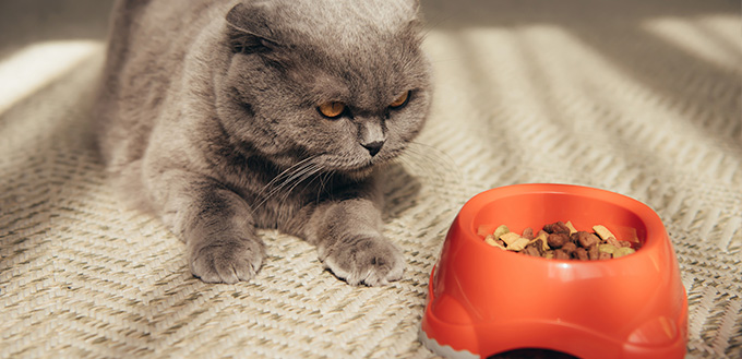 cat with red bowl full of cat food
