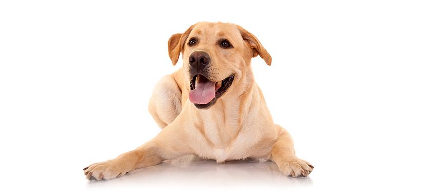 happy retriever labrador