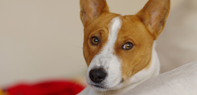portrait of royal basenji dog