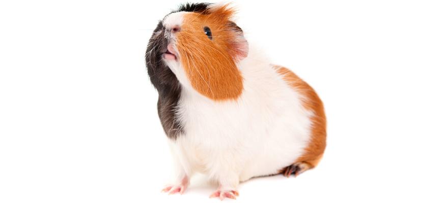 small guinea pig