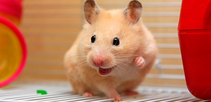 Cream hamster