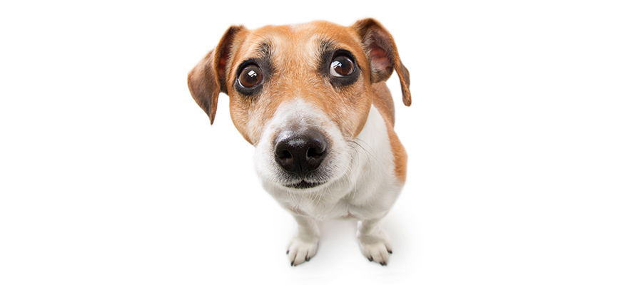 Cute small dog jack russell terrier