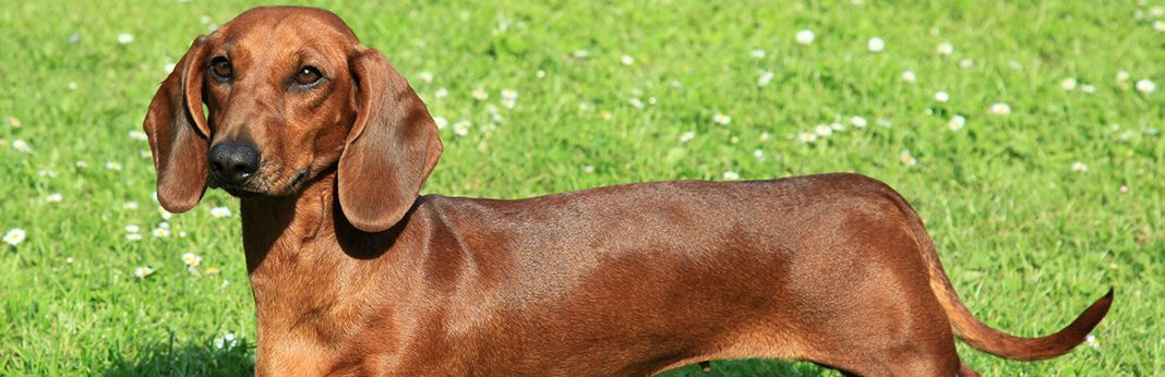 Dachshund Breed Facts & Temperament