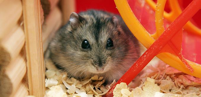 Grey phdopus hamster