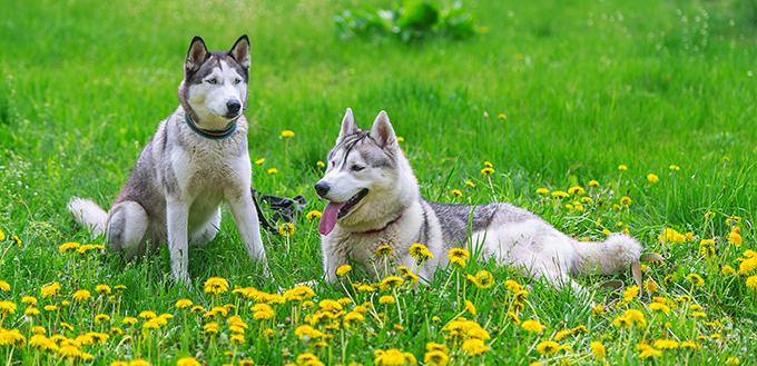 Two Siberian husky and dandelions flowers