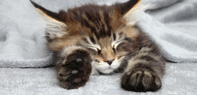 cat with many toes