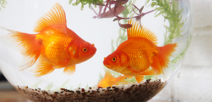 goldfish life span