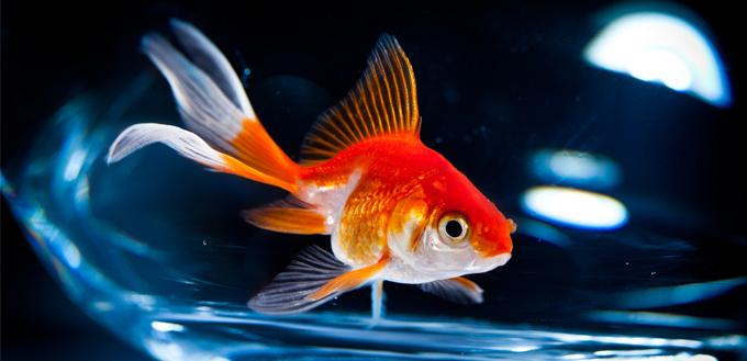 how long do goldfish live