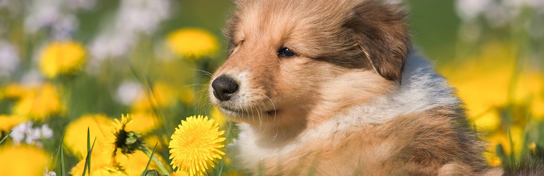is dandelion good for dogs