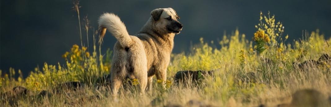 kangal-dog-breed