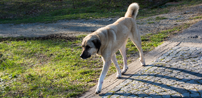 turkish dog
