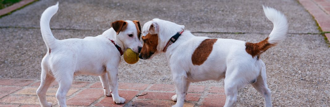 why dogs wag their tales
