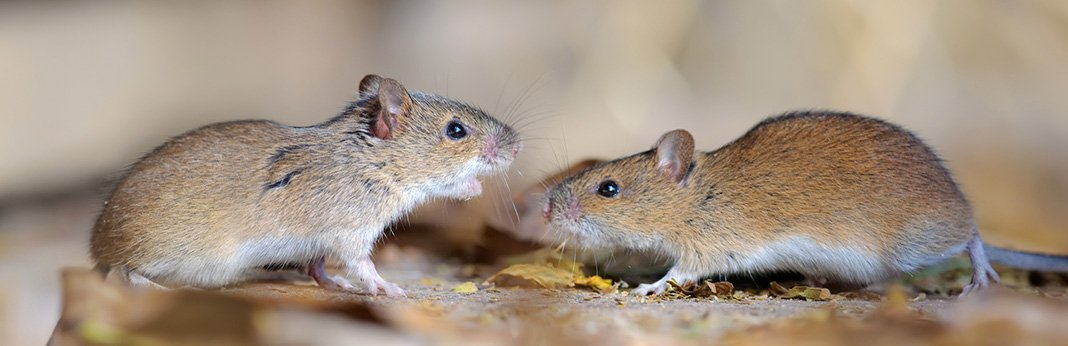 1-how-to-introduce-two-pet-mice-to-the-same-cage