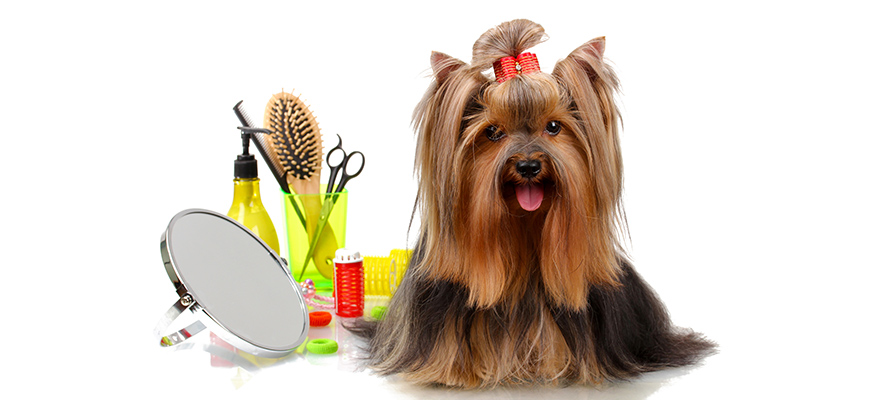 Beautiful yorkshire terrier with grooming items
