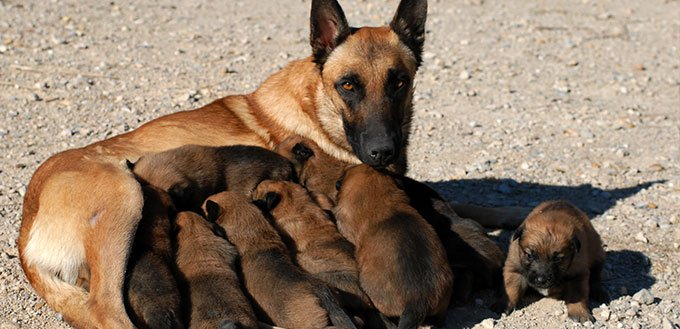 Belgian shepherd and puppies