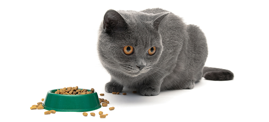 Cat eats dry food from the green bowl