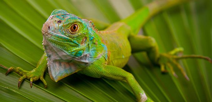 Green Iguana on Leaf