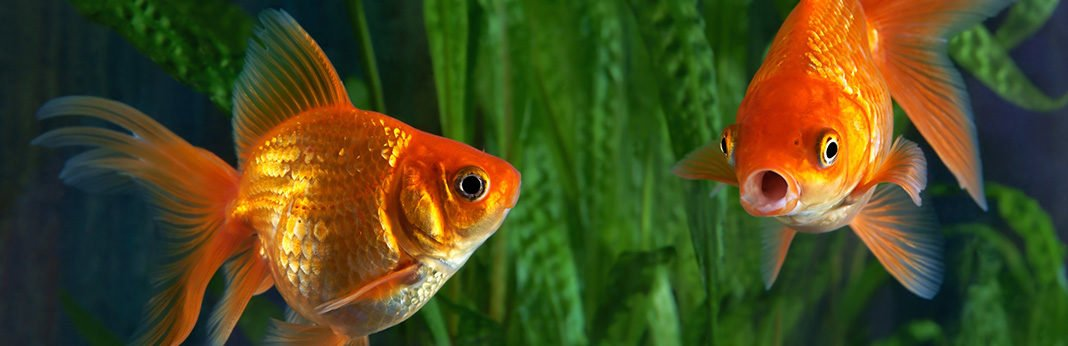 How to Tell If a Goldfish Is Pregnant