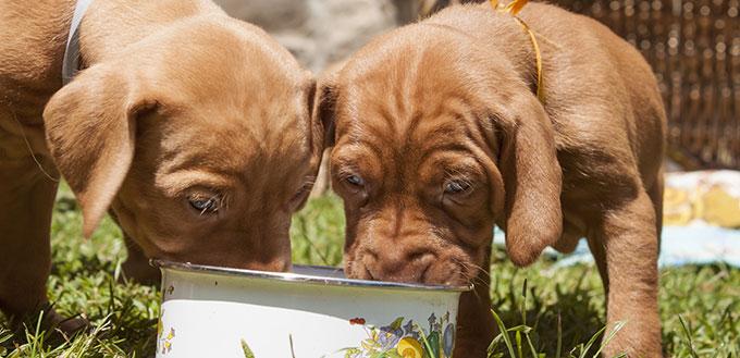 Hungarian hound puppies