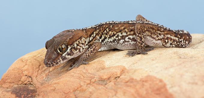 Madagascar Ocelot Gecko