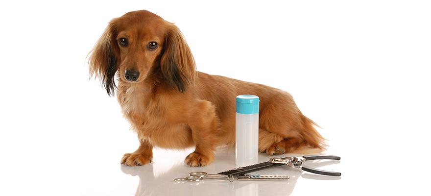 dachshund sitting beside grooming supplies